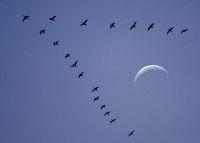 صورة لماذا تحلق الطيورالمهاجرة على شكل V ؟