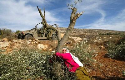 صورة يوميات حرب مفتوحه من قوات الاحتلال وقطعان المستوطنين على أشجار الزيتون في موسم القطاف