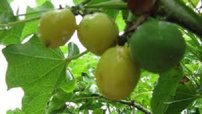 Photo of نبتة الجاتروفا…زراعة البترول بالقارة الإفريقية