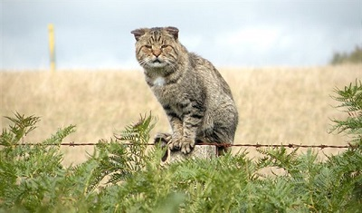 """صورة استراليا تشن حرباً ضد """" القطط المتوحشة""""!"""