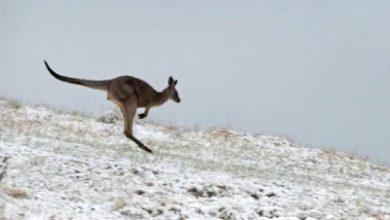 صورة الثلوج تفاجئ سكان ولاية نيو ساوث ويلز والعاصمة كانبرا على أبواب الربيع