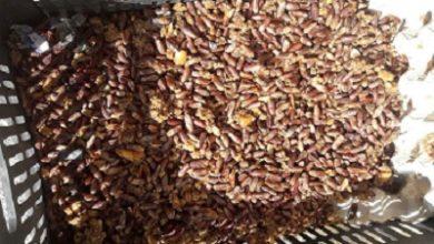 صورة مواطن من واسط يجمع نوى التمر لغرسه ضمن مشروع مائة الف نخلة ، لأعادة هيبة عمتنا النخلة